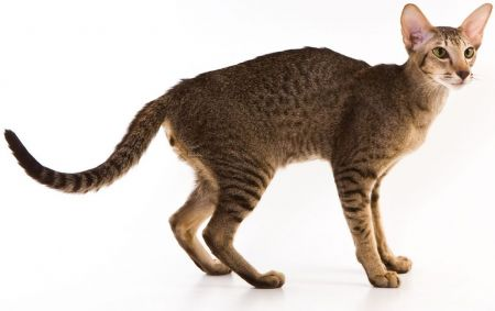 Конкурс: дарим породистого кота и запас корма на 50 лет вперед